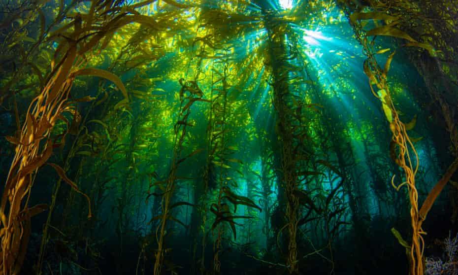 Sunlight streaming through a kelp forest off Anacapa Island, California.
