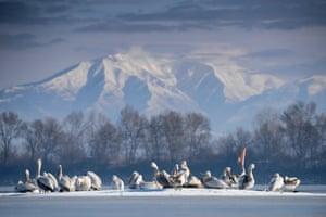 Dalmatian pelicans, Lake Kerkini, Greece