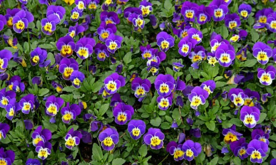 Viola S Flower Garden