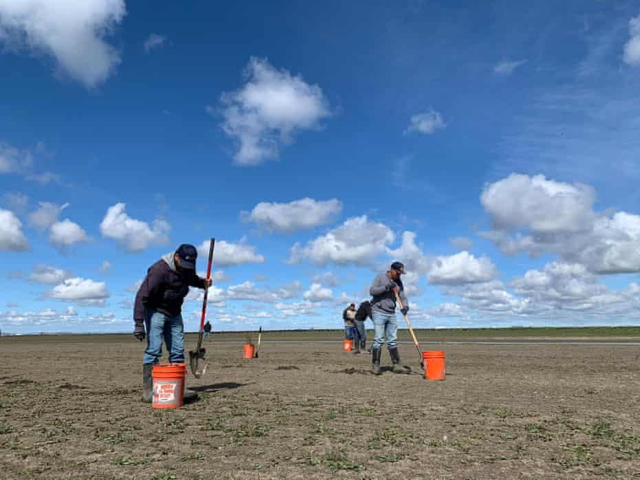 Workers with River Partners plant milkweed at the Yolo Bypass Wildlife Area in the Sacramento valley.