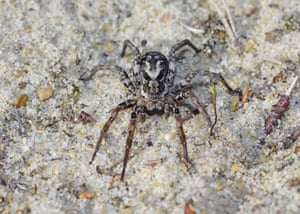Mike Waite found several male great fox-spiders, one female, pictured, and some unidentifiable immature spiderlings.