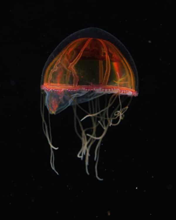 A deep-sea Hydromedusa