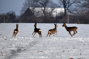 A gang of roe deer frolick in the snowy fields of the commune Stare Czarnowo in the West Pomeranian Voivodeship