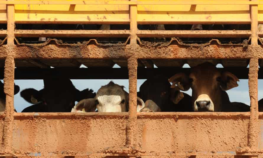 Export cattle are loaded onto trucks at the Noonamah stock yards on the outskirts of Darwin in 2011.
