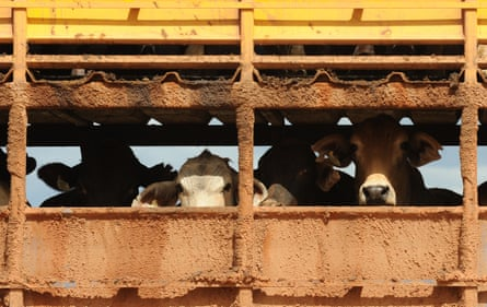 Export cattle loaded on to truck