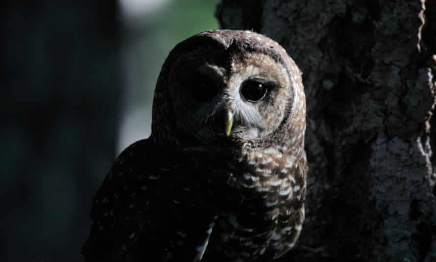 The northern spotted owl has been listed as threatened since 1990.