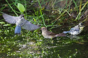 A nightingale shares the water with blue tits at the Nipponzan Myohoji Buddhist temple in Milton Keynes