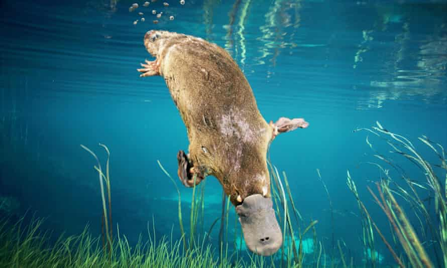 The mine's wastewater is associated with a 90% drop in macroinvertebrates in the river, which has the potential to affect larger animals in the food chain, such as the platypus.