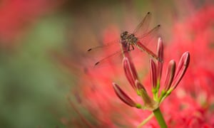 a dragonfly lands on a red spider lily in Tokyo.