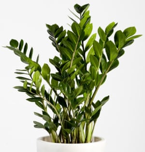 If indoor plants die on you, try zamioculcas, available from Ikea.