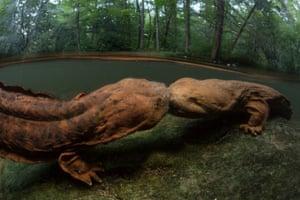 Hellbender salamanders