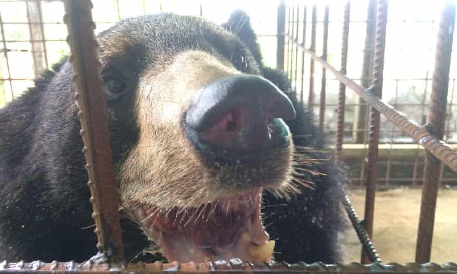 The bear Nyan htoo after the successful surgery