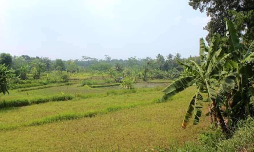 Rice fields near Siti's childhood home
