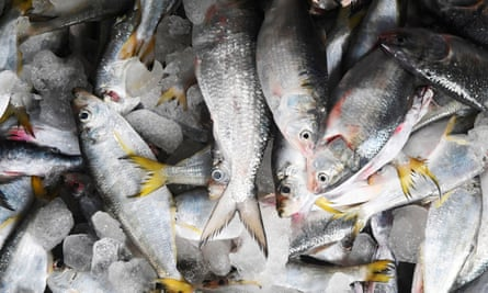 Freshly caught hilsa fish