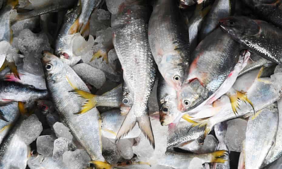 Freshly caught hilsa fish