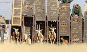 The animals were released into the wild in Chad.