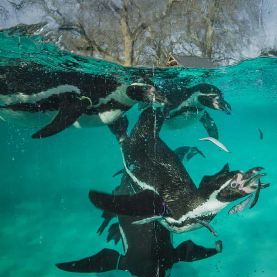 Feeding time for the penguins. There are 64 penguins and they all have names