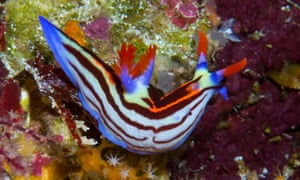 A nudibranch swims on the sea floor