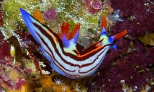 A nudibranch swims on the sea floor near Atauro Island