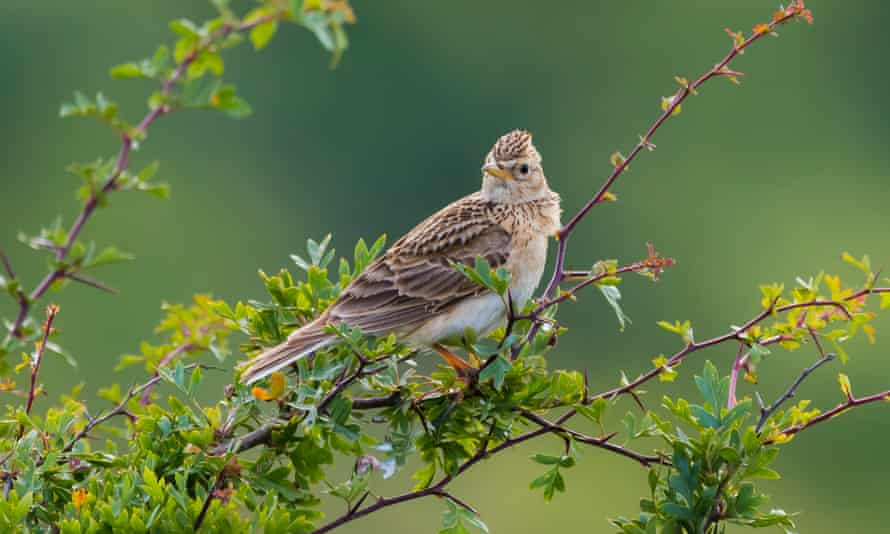 Eurasian skylark perched on a branch of a small bush or tree in Summer
