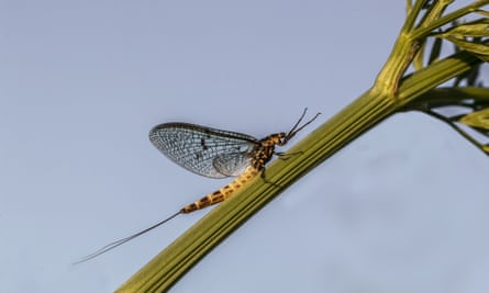 Clouds of emerging mayflies were once a regular sight on English summer evenings but pollution has significantly affected numbers.