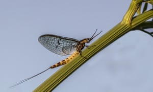A newly emerged mayfly on the River Frome in Dorset