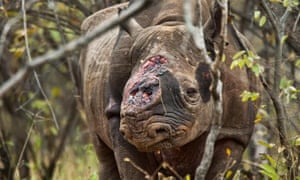 A rhino mutilated by poachers for its horn.