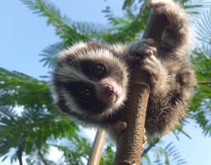 Pasar is one of two baby slow lorises kidnapped by illegal pet traders to be sold at Jakarta animal markets. The pair are recovering at the International Animal Rescue sanctuary in Ciapus, Java