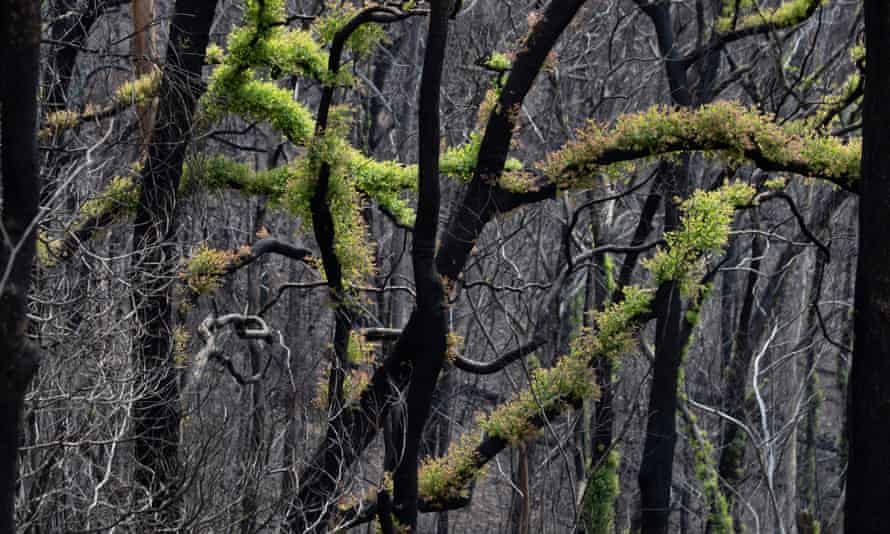 New growth on bushfire-affected trees along the Wandella Road, west of Cobargo, NSW, February 2020