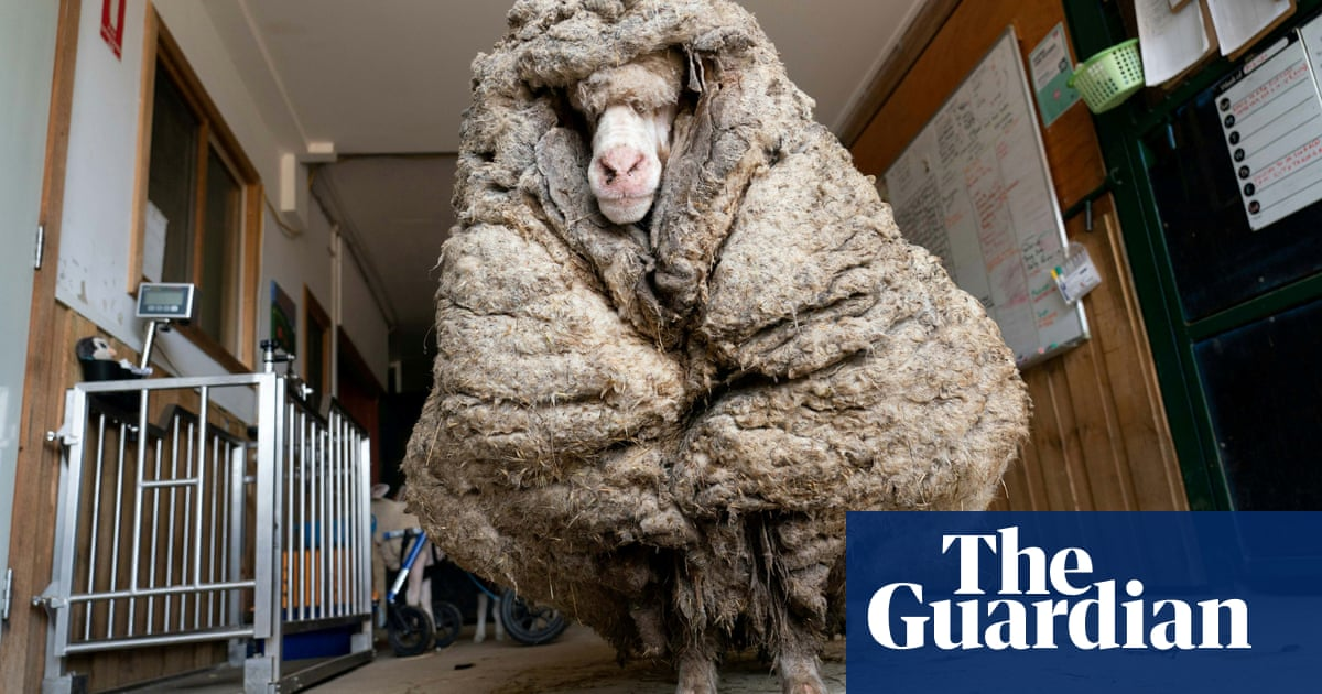 Baarack the sheep shorn of 35kg fleece after being found roaming in rural Australia – video