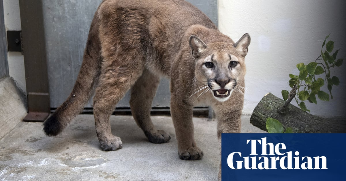 Baby cougar rescued from New York City apartment