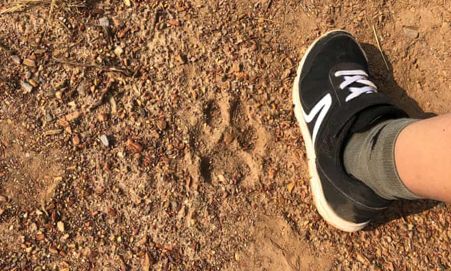 Evidence of an Iberian wolf in northern Portugal in August.