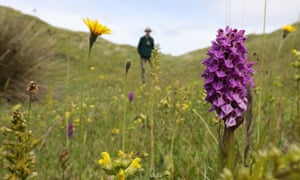 A common spotted orchid and other flowers on the dunes at Kenfig.