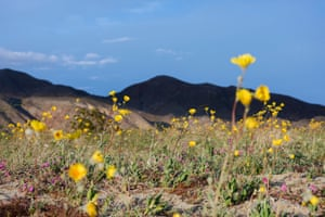 The last time the park experienced a wildflower bloom was March 2017, when some 200,000 visitors flocked to the super bloom.