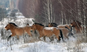 Przewalski's horses, once thought to be the last remaining wild horses on earth, are actually domesticated horses that escaped their owners over 5,000 years ago.