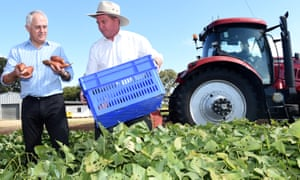 Malcolm Turnbull and Barnaby Joyce gather sweet potatoes during a visit to a farm near Rockhampton