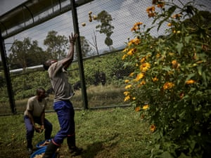 Espoir Watukalusu (right) throws fruit to juvenile chimpanzees in their enclosure at Lwiro Primate Centre. The rescued chimpanzees at the centre are tended to by hand until they reach juvenile age, when they are housed in large enclosures to simulate natural forest