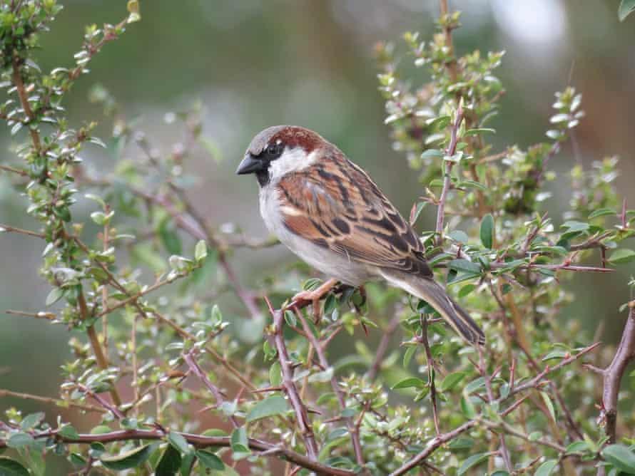 House sparrow in a garden near Epsom.