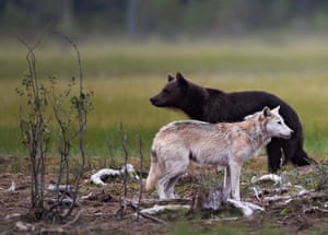 A wolf and a brown bear look peaceful in the midst of a territorial battle in Finland's Arctic taiga, or boreal forest