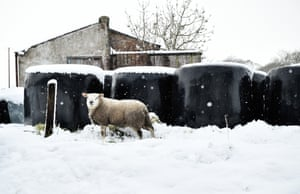 A sheep looks for grass to graze on through the snow on Black Mountain in Belfast