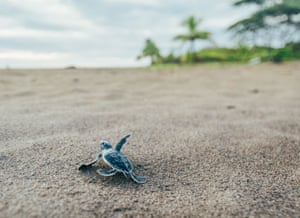 A baby turtle emerges from its nest and ventures down to the water, Costa Rica