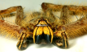 Not a Spider from Mars, but Heteropoda davidbowie, named after the Ziggy Stardust singer.
