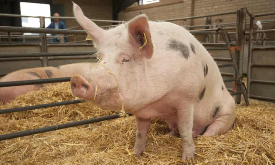 British farmers lose £7 for every pig they slaughter.