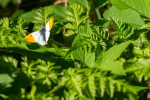 An orange tip butterfly