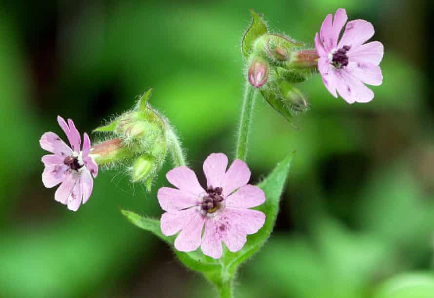 A red campion flower with brown spores of the anther-smut fungus.