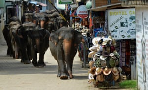 <strong>Elephants from the Pinnawala elephant orphanage return from the river in Pinnawala, near Colombo, Sri Lanka. The Sri Lankan elephant is listed as endangered species, with population declining by 50% over three generations</strong>