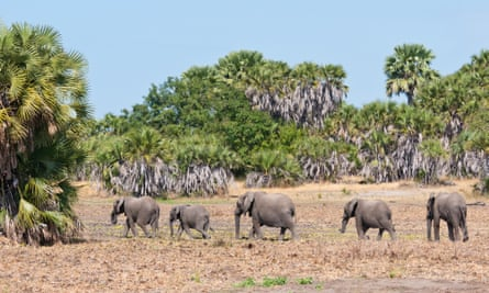 amily of elephant walking in selous game reserve in tanzania