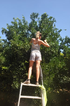 A backpacker thinning mandarins in Mildura