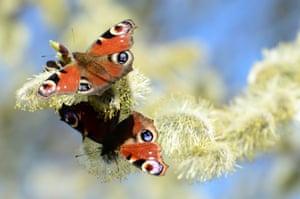 Peacock butterflies during a sunny day in Jicin, Czech Republic.