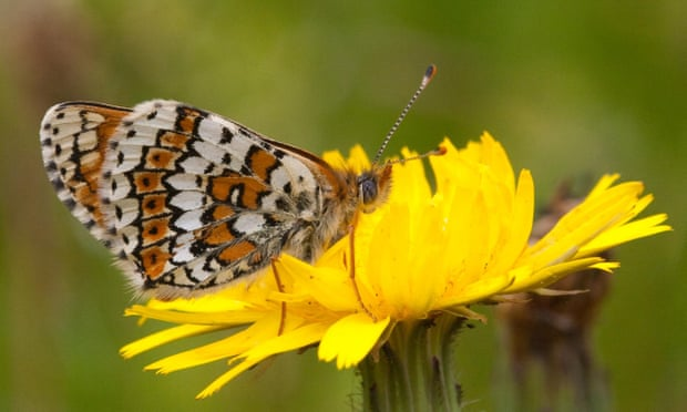 Butterflies released in Finland contained parasitic wasps – with more wasps inside